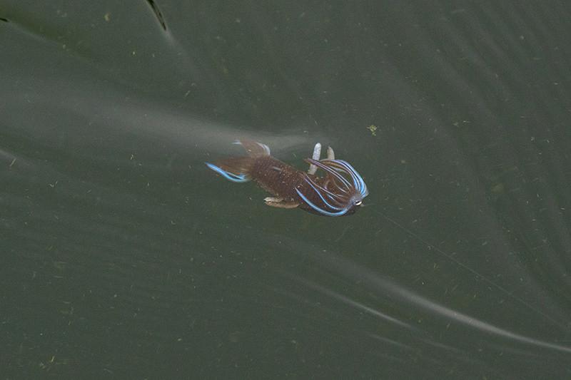 Hula Shrimp